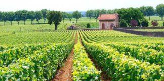 Borgogna-densità-dimpianto