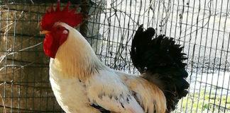 gallo carmelo